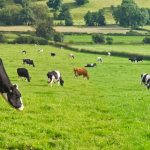 Dairy Cows eating forage
